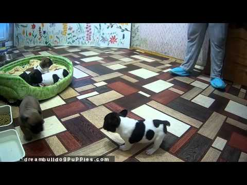 New litter of french bulldog puppies 4