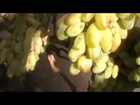 Сорт винограда Диксон - сезон 2015