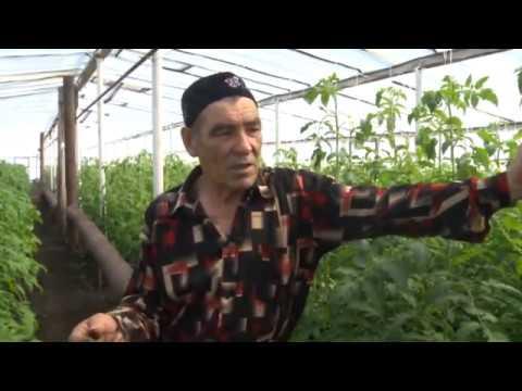 Мастер класс по выращиванию помидоров в теплице. Алькино Похвистневский район