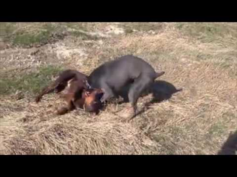 Two Doberman Pinscher Brother Playing - Dogs Enjoying The Weather