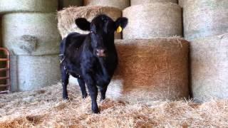 Schuett Farms - Cow Talking To Calf