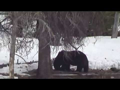 Grizzly Bear Grand Canyon of Yellowstone May 4 2014