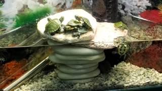 Красноухие черепахи   Описание, содержание и уход