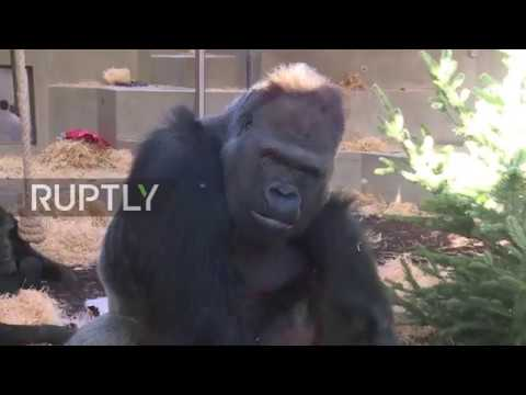 A Very Monkey Christmas - Curious Gorillas receive Xmas gifts in Stuttgart Zoo