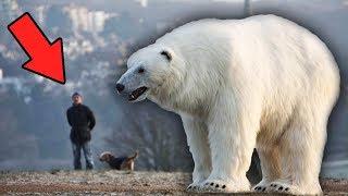 Этот медведь больше чем слон. Самые большие медведи в истории человечества