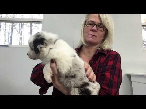 Kaigan Kennels Australian Shepherds - Dec 2018 - Cherry Purple girl blue merle