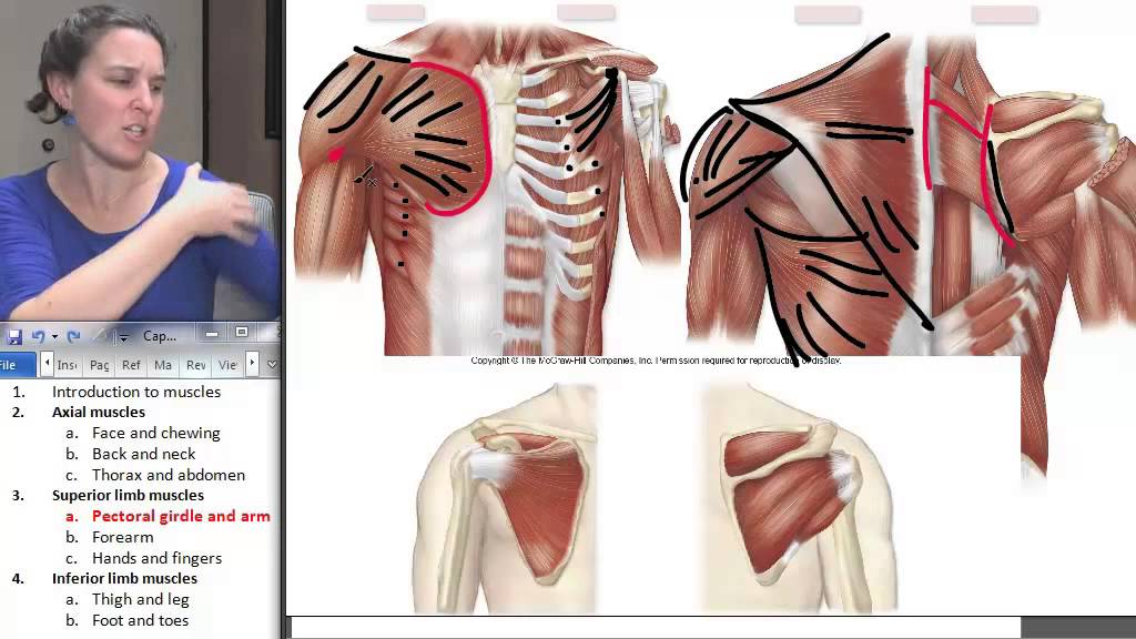 Pectoral Girdle Muscles ☆ Human Anatomy Course - YouTube