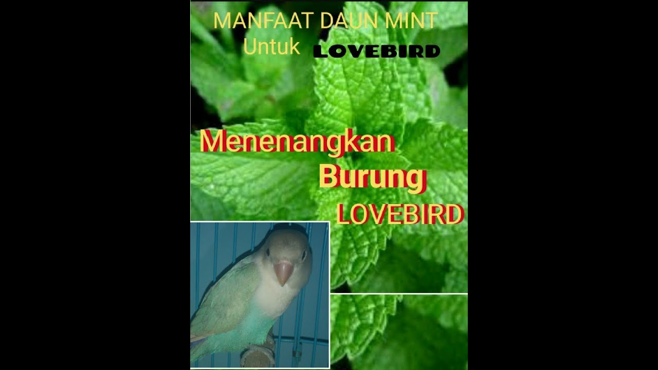 Manfaat daun mint untuk lovebird - YouTube
