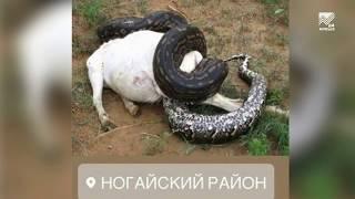 """Действительно ли змеи атакуют Ногайский район? Расследование """"Архыз 24"""""""