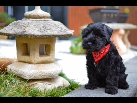Black Miniature Schnauzer Puppy First Day Home - Winston