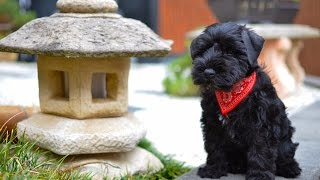 Black Miniature Schnauzer Puppy First Day Home  Winston