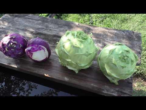 Как сохранить капусту кольраби на зиму в домашних условиях