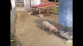 Outdoor Pig Pen Setup with Gravity Fed Water System