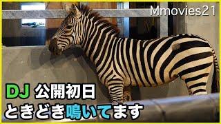 円山動物園のグラントシマウマ、DJ(オス/7歳)。 安佐動物公園(広島県)...