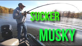 How To: MUSKY Fishing With Suckers