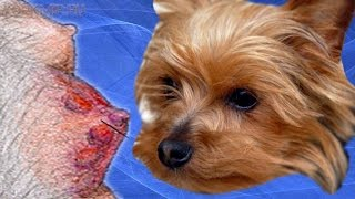 Мастит у собак | Симптомы | Лечение | Профилактика.(Мастит у собак — заболевание, сопровождающееся воспалительным процессом в молочных железах. Происходит..., 2016-01-14T05:21:49.000Z)