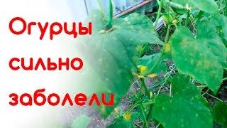 Огурцы сильно заболели(, 2016-07-06T11:18:19.000Z)