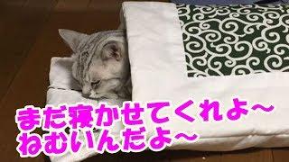 【猫】眠いからまだ寝かせてにゃ thumbnail