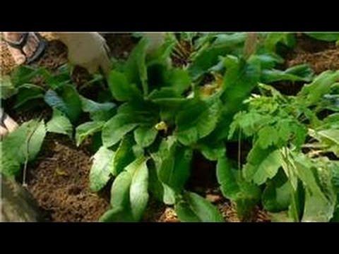 Transplanting & Maintaining Garden Perennials : How to Transplant Primulas