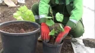 Как правильно посадить виноград в Сибири(http://www.youtube.com/watch?v=zPsi6Av20RU&list=PLkLY3ucQSvgKbWnxwYW7yBFEEhLKI-IvD&index=1 ..., 2012-05-28T02:12:56.000Z)