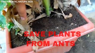 Cover images चींटियो से पौधो को कैसे बचाये  SAVE PLANTS FROM ANTS