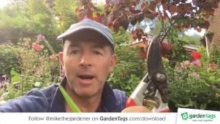 Tip for deadheading Rose flowers, Dahlias, Foxgloves and Petunias