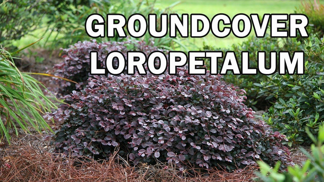 Purple Pixie Loropetalum Is A Groundcover Plant With Rich Purple