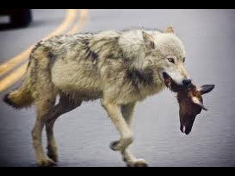 TheDocumentary BBC about Animal Documentary Wolves of Yellowstone