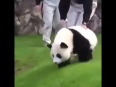 komik videolar çılgın panda yavrusu