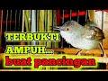 Ampuh Buat Pancingan Ciblek Langsung Melawan Burung Ciblek  Mp3 - Mp4 Download