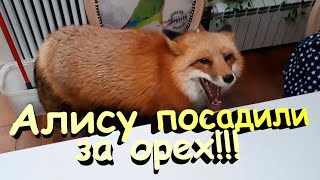 Ли Сяо / Alice the Fox Лиса Алиса (Подчинение со Скрипом)