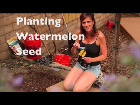 how-to-grow-watermelon-e02--watermelon-first-time---how-to-plant-watermelon-seeds