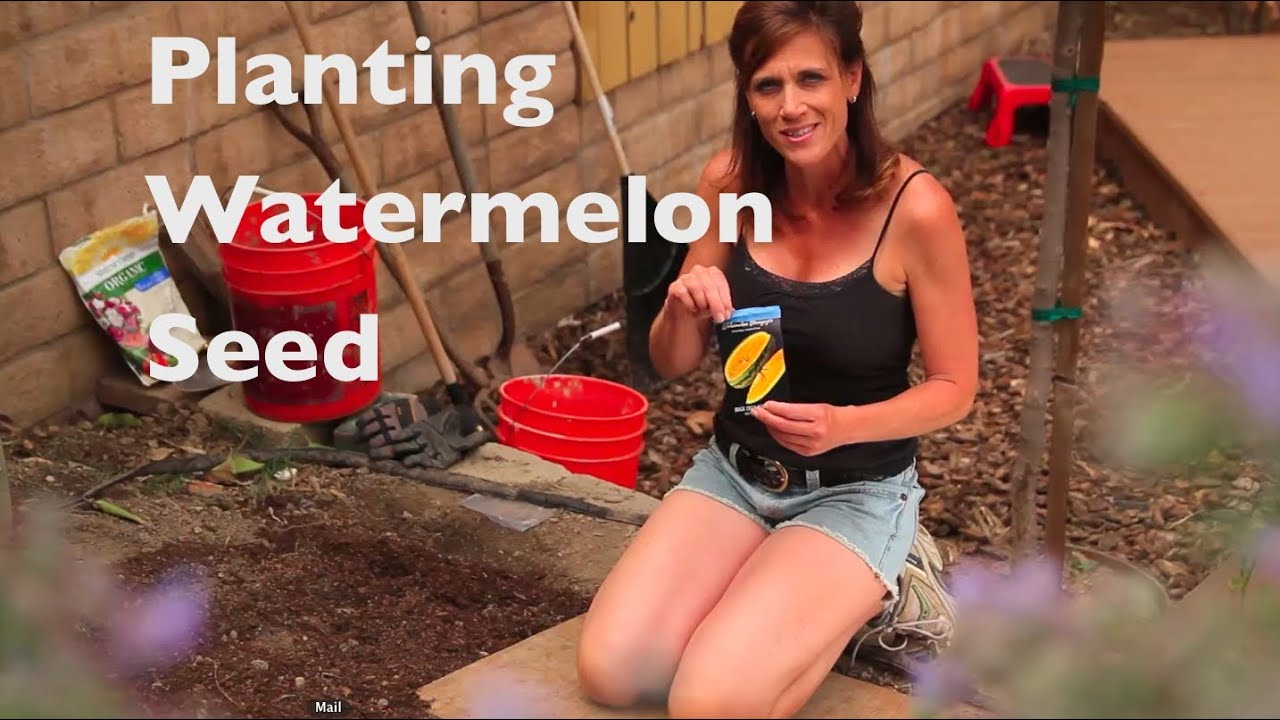 How To Grow Watermelon E02 First Time Plant Seeds