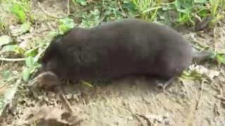 Mole сaptured in a fair hunt. Живой крот. Пойманный в честной охоте на огороде. Спасение.