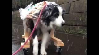 ボーダーコリーの看板犬ローザ ブログ→ http://ameblo.jp/kutsuzawa7/ ...