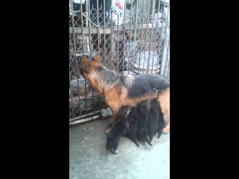 béc giê đức nhập khẩu trại chó trần gia 0904997476