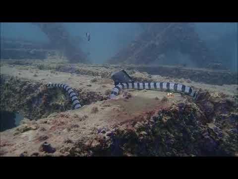 Banded (black & white) Sea Krait on the Hunt