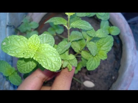 How to grow Pudina / Mint / पुदीना  at home easily ( in Hindi )