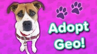 Adopt Geo! // Boxer Mix // Adoptable Featurette