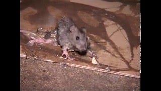 Les rats dans la ville de Paris - Reportage