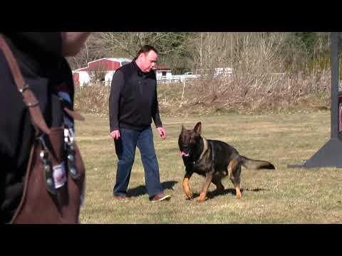 Kraftwerk K9 German Shepherd dog Obedient protection!