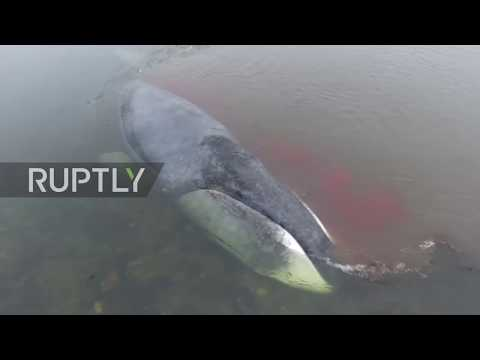 Russia: Blood flows from stranded baby whale as it struggles for freedom *EXCLUSIVE*