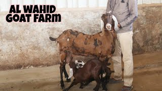 For sale sirohi female goat with 2 kids at al wahid goat farm
