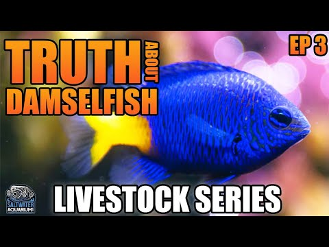 The Truth About DAMSELFISH - Livestock Series