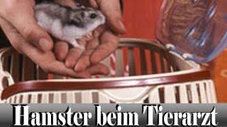 Hamster beim Tierarzt: Behandlung und Infos