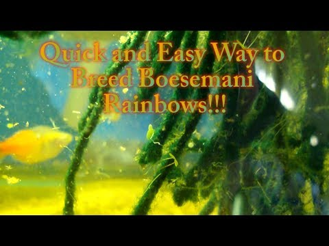 Quick And Easy Way To Breed Boesemani Rainbows!
