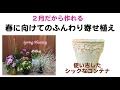 八重オステオスペルマムとアルメリアの寄せ植え【ウチ花】一足早い春のコンテナガー…