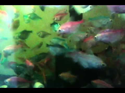 Tatra fish mix color