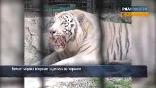Тигрица Юлии Тимошенко родила(Белая тигрица Тигрюля, подаренная Юлии Тимошенко и ставшая одним из символов ее президентской предвыборно..., 2012-05-07T21:05:37.000Z)