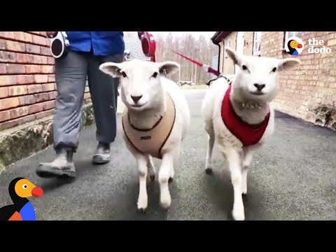Sheep Sisters Act Just Like Big Dogs - FRIA & EIRA | The Dodo